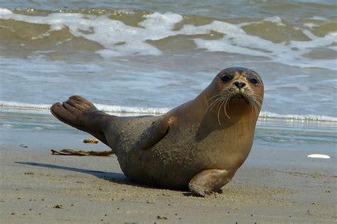 Seehund   Naturwissenschaftlicher Verein für Schwaben e.V. Seehund