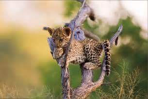 How Many Babies Does A Jaguar Leigh Richards 187 2008 187 December