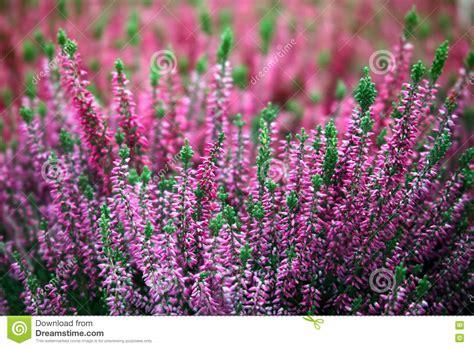 fiori erica fioritura dei fiori dell erica fotografia stock immagine