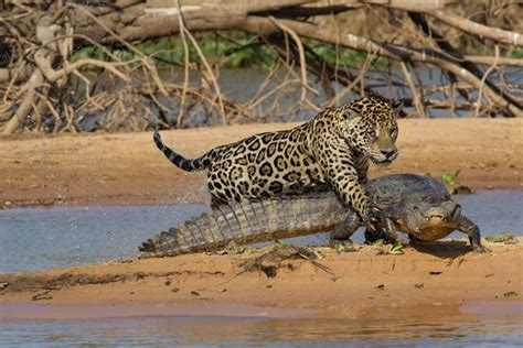 Jaguar Kills Caiman Pictures Jaguar Kills Caiman In Quot Spectacular Quot Attack