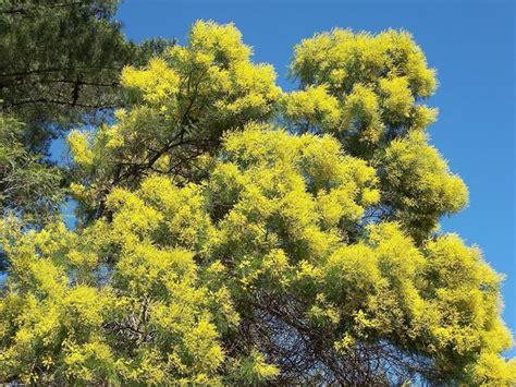 albero giardino alberi giardino alberi latifolie caratteristiche degli