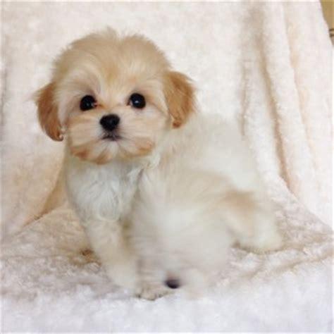 maltese poodle pomeranian mix puppy teacup malti poo puppy poodle maltese mix iheartteacups