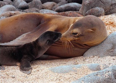 Sea lion facts information about south america sea lions