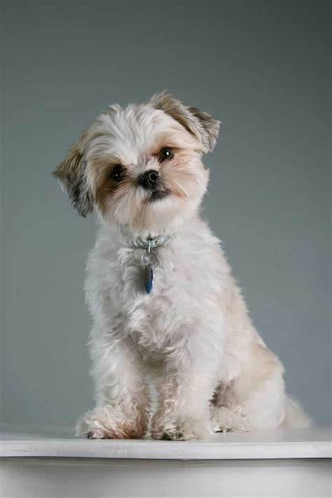 how many years does a shih tzu live maltese shih tzu breed 187 everything about the malshi