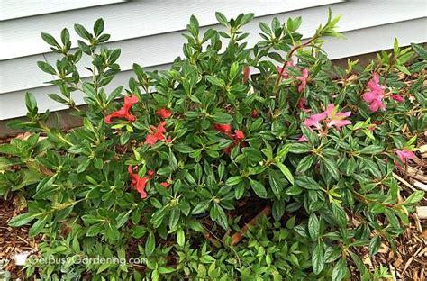 partial shade flowering shrubs partial shade shrubs for your garden