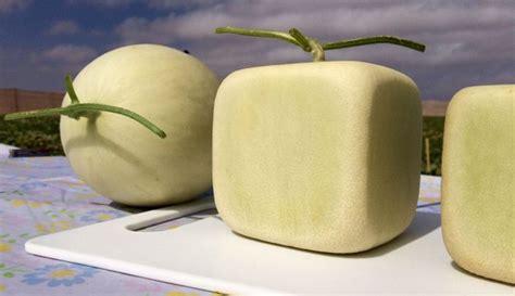 melones cuadrados cosechan los primeros melones cuadrados en pa concordia