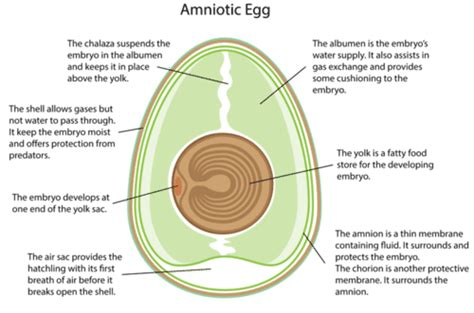 diagram of an amniotic egg reptile reproduction ck 12 foundation
