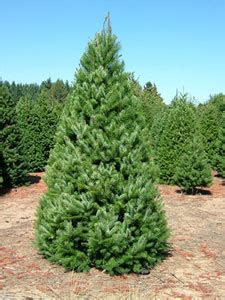 welcome sunnyview christmas tree farms salem oregon