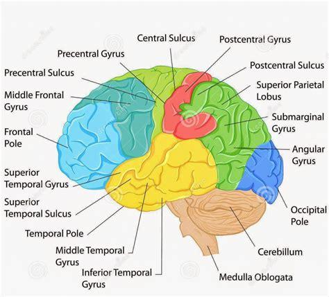 diagram of a human brain labeled brain diagram the human brain labeled human