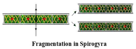 fragmentation diagram fragmentation in spirogyra biology