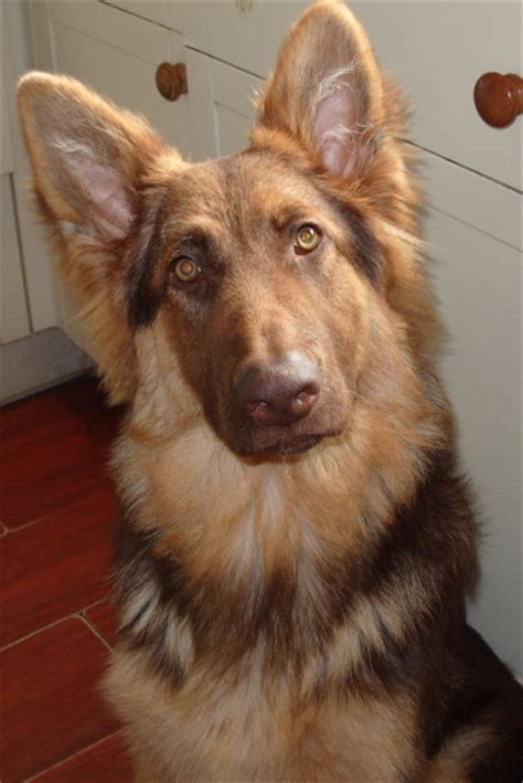 liver german shepherd liver longcoat german shepherd dogs are a color which has been in the breed