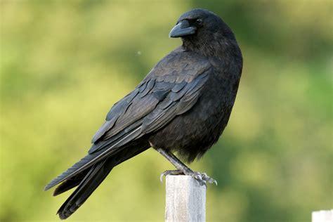 american crow new brunswick jpg photo clamflats photos
