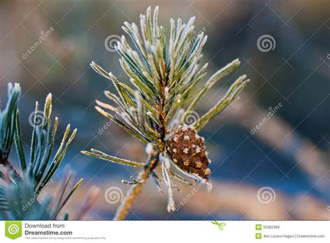 Brown By Dreamcone Soflens pine twig royalty free stock photography cartoondealer 50382389
