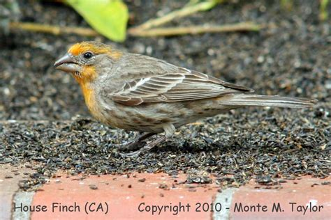 house finch california california house finch 28 images margo s beautiful