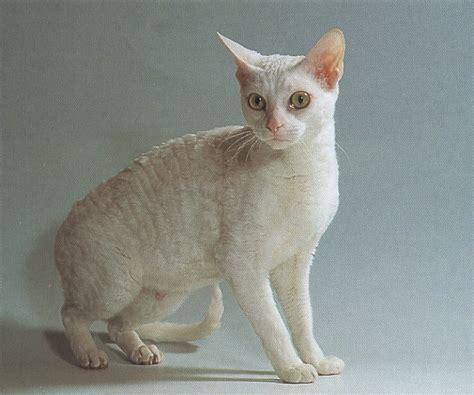 German Rex Cat Info, Temperament, Care, Pictures