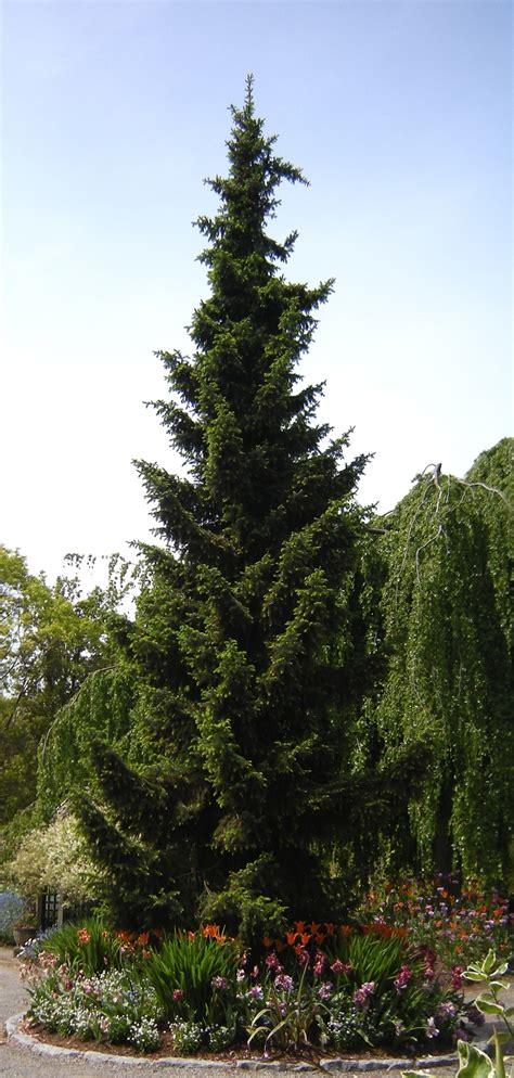 serbian spruce tree picea omorika serbian spruce