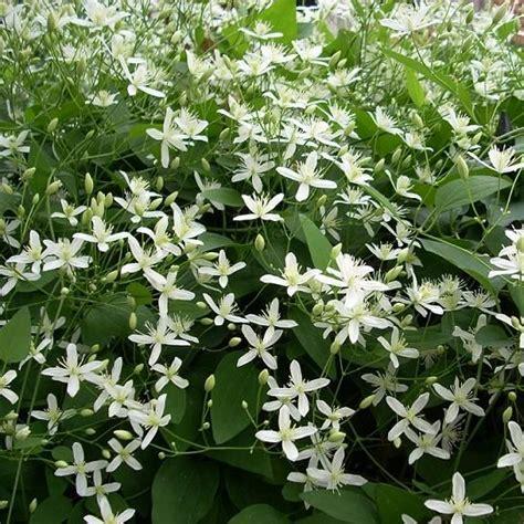 witte thee tuinen clematis armandii little white charm wintergroen