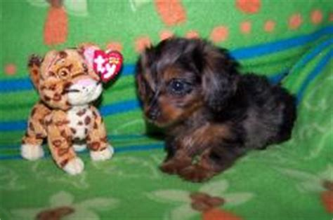 dorkie puppies for sale dorkie puppies for sale ads breeds picture