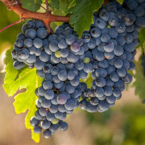 grapes fruit tree what are espaliered fruit trees stark bro s