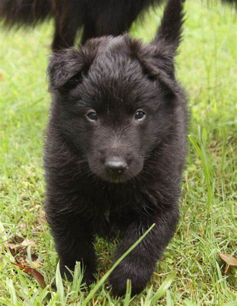 groenendael puppies 108 best images about groenendael on wolves german shepherd puppies and black