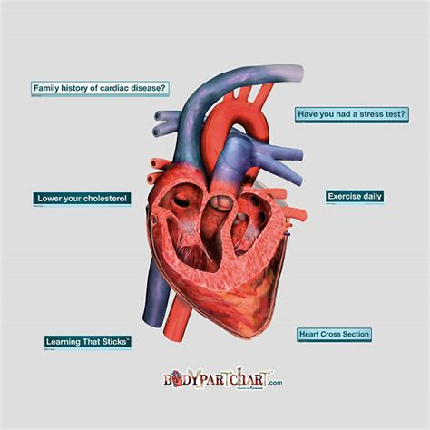 cross section of the heart 1 877 328 8877