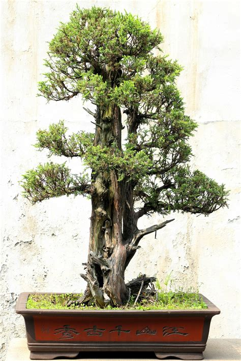 vaso da bonsai bonsai saiba mais sobre as miniaturas de 193 rvores