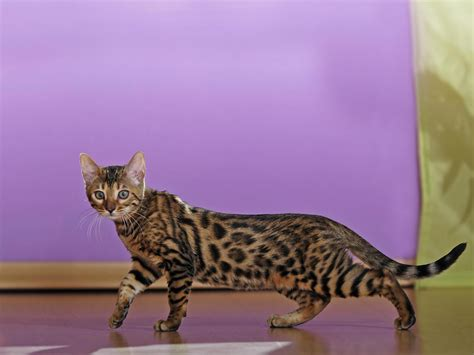 bengal cats cute cats