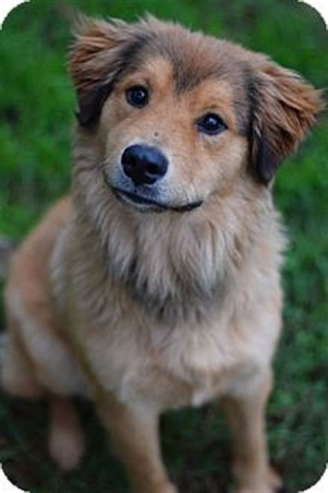 golden retrievers for adoption in ny 1000 ideas about golden retriever mix on golden retrievers dogs for