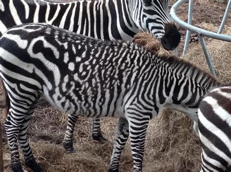 zebra pattern unique these 27 color mutations are pretty rad plus other weird