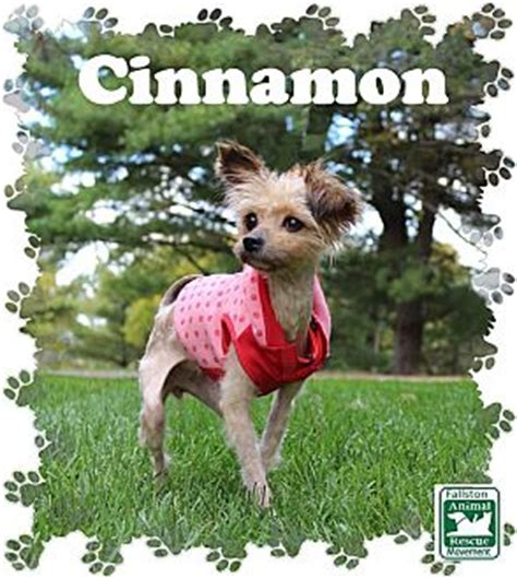 yorkie rescue maryland fallston md yorkie terrier mix meet cinnamon a for adoption