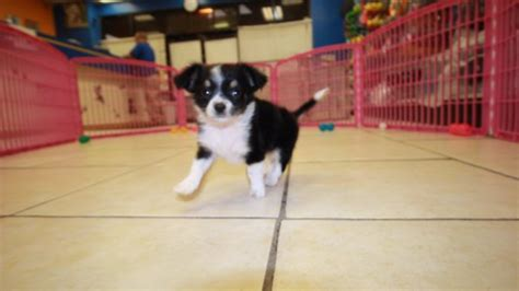 chihuahua puppies for sale in ga black and hair chihuahua puppies for sale in at puppies for sale