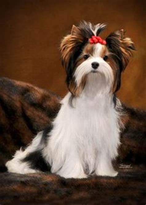yorkie poo puppies chattanooga tn 1000 ideas about terrier haircut on yorkie terriers