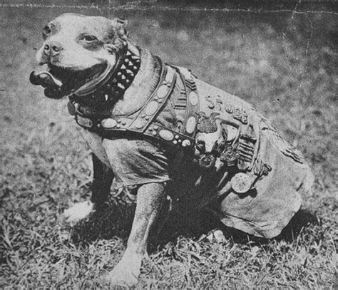 Sgt Stubby Most Decorated War Sargent Stubby Probably The Most Decorated War Guns Gas And Trenches