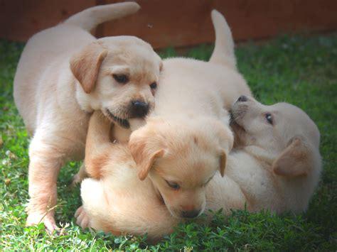 alimentazione labrador cucciolo allevamento labrador toscana cuccioli valle dei medici