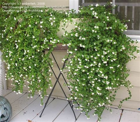 how to care for a bridal veil plant garden guides bacopa bridal veil white sutera cordata 6 quot h x 15 quot w