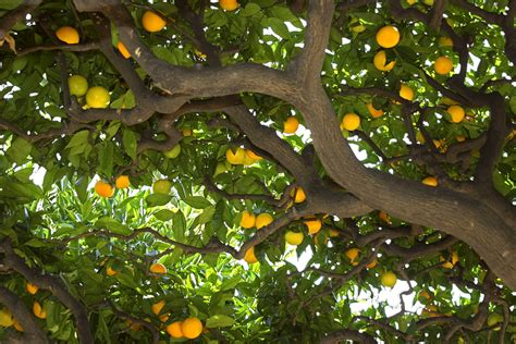 central florida fruit trees how to grow citrus trees of central florida