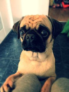 excited pug mopsit on pugs baby pugs and pug puppies