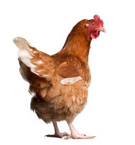 S Chicken Has Own Quot Chicken To Ride Quot Smarthealthtoday