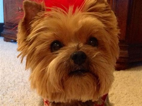 Hair Cut For Yorkie Pekachon | hair cut for yorkie pekachon yorkie s summer haircut