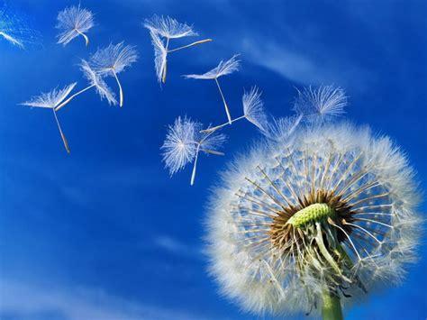 dandelion  sending seeds hd desktop wallpaper