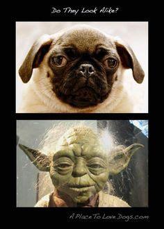 pug look alike puggy pics that are and on pugs pug and lifebuoy