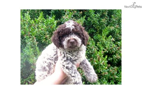 lagotto romagnolo puppies for sale lagotto romagnolo puppy for sale near binghamton new york 3f8fdfd4 f8b1