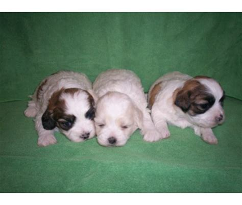 hypoglycemia puppy hypoglycemia in small breed puppies