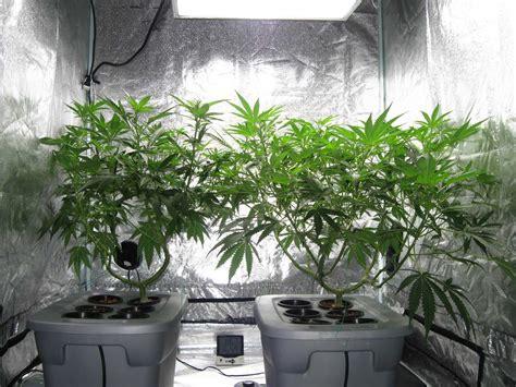 grow cannabis  soil  hydro grow