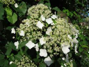 Build Your Own Trellis File K 246 Ynn 246 Shortensia Hydrangea Anomala Subsp Petiolaris