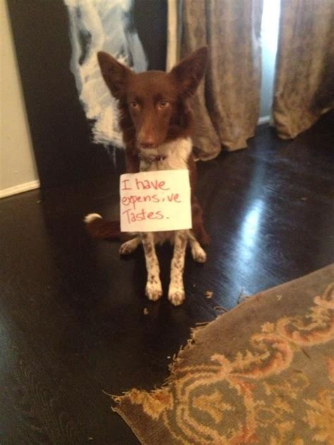 rug munching 10 images about shamed dogs on carpets my and an eye