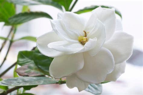 gardenia significato fiore significato dei fiori la gardenia pollicegreen