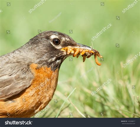 robin bird with many worms in its beak in front of a green
