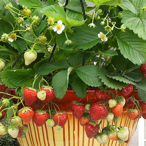 zyverden cosmopolitan hanging strawberry basket set