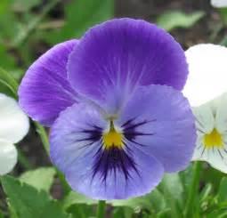 file pansy flower jpg wikimedia commons